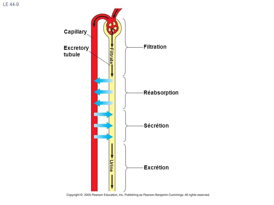 LE 44-9 Filtration Réabsorption Sécrétion Excrétion Excretory tubule Capillary Filtrate Urine