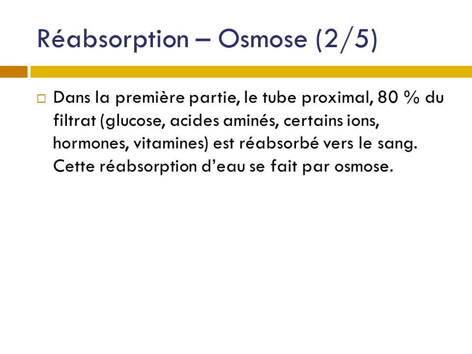 Réabsorption – Osmose (2/5) Dans la première partie, le tube proximal, 80 % du filtrat (glucose, acides aminés, certains ions, hormones, vitamines) es