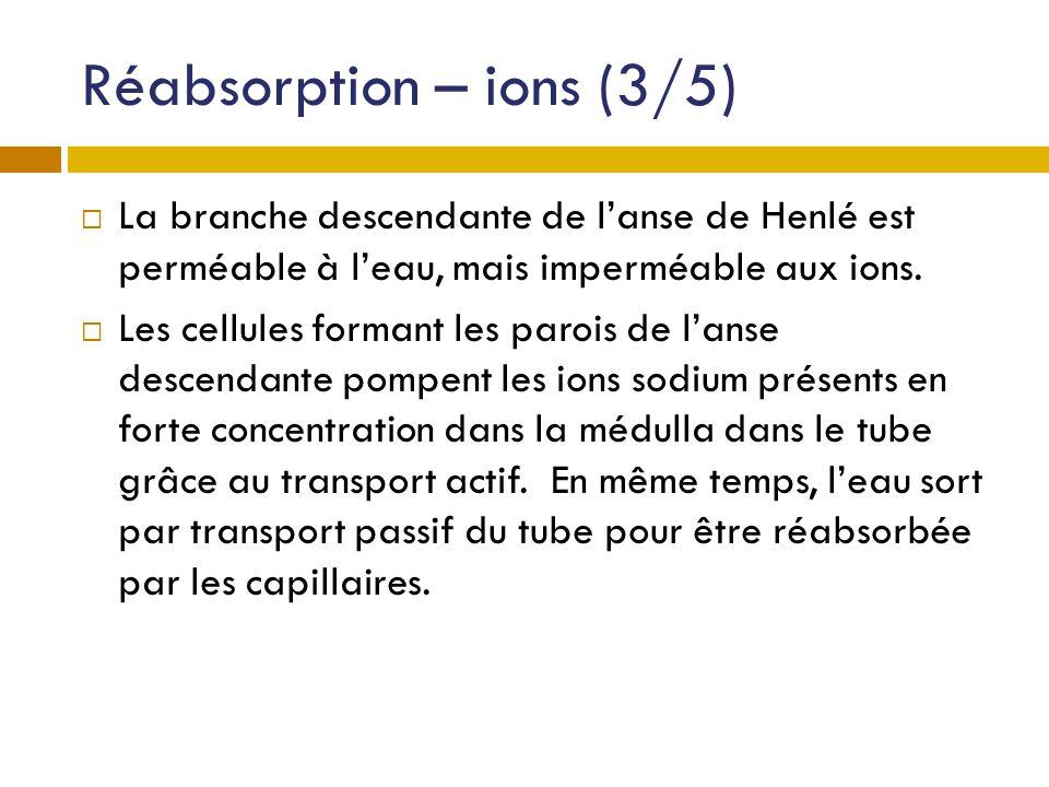 Réabsorption – ions (3/5) La branche descendante de lanse de Henlé est perméable à leau, mais imperméable aux ions. Les cellules formant les parois de