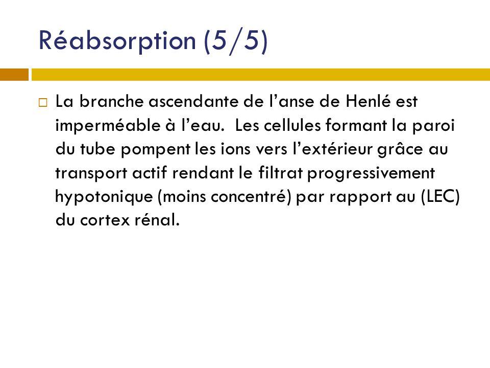 Réabsorption (5/5) La branche ascendante de lanse de Henlé est imperméable à leau. Les cellules formant la paroi du tube pompent les ions vers lextéri