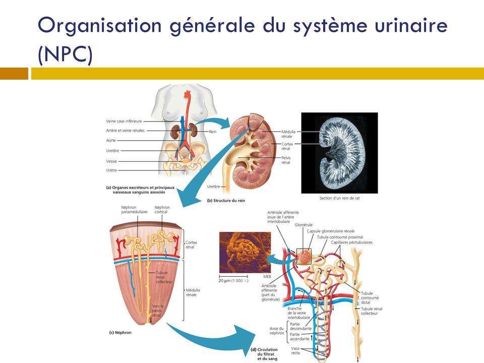 Structures principales (NPC) Reins L uretère L urètre La vessie.