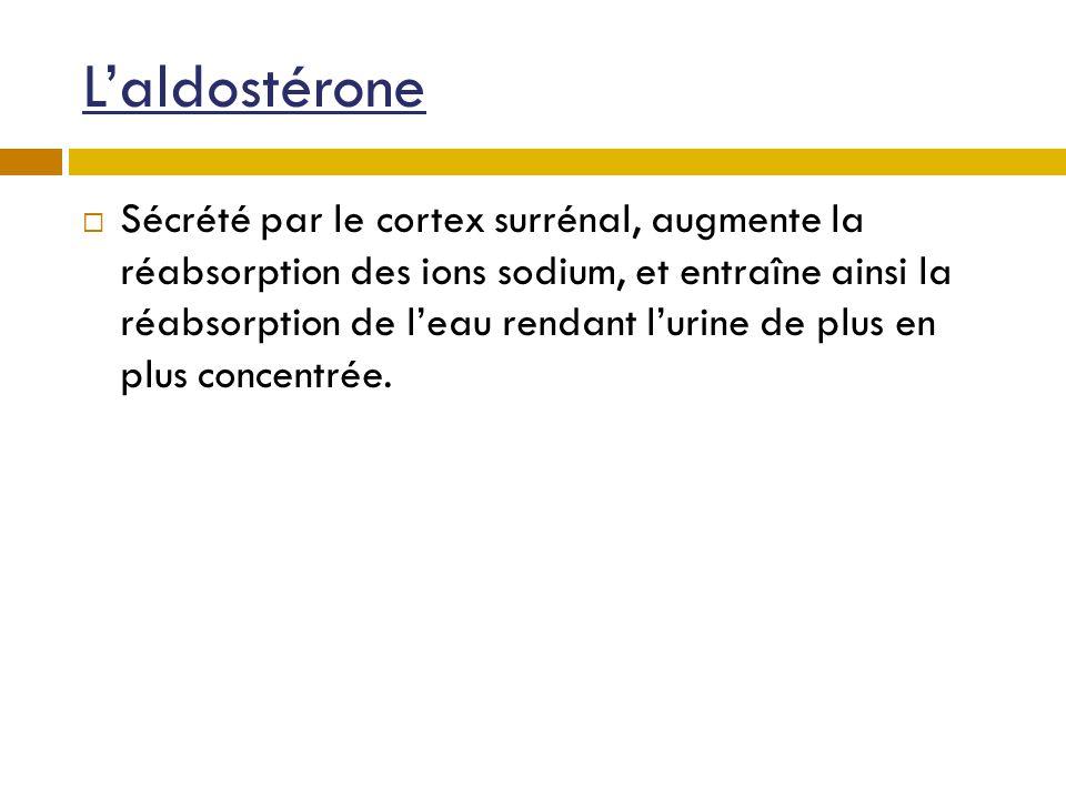 Laldostérone Sécrété par le cortex surrénal, augmente la réabsorption des ions sodium, et entraîne ainsi la réabsorption de leau rendant lurine de plu