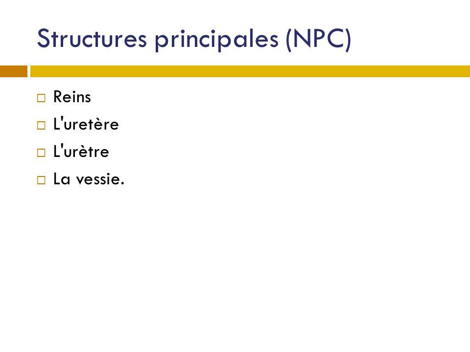 Structures principales (NPC) Reins L'uretère L'urètre La vessie.
