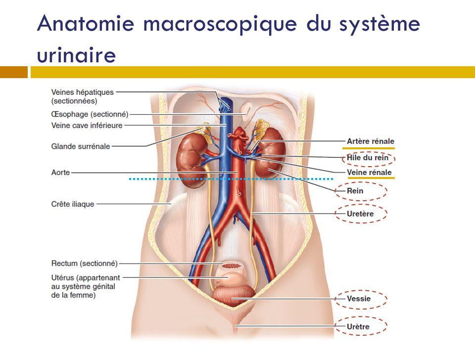 Structure des reins Deux en forme de haricot (taille du poing) 1 % de la masse corporelle 20 % du débit sanguin