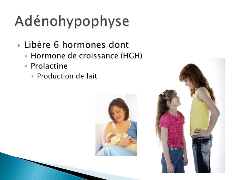 Libère 6 hormones dont Hormone de croissance (HGH) Prolactine Production de lait