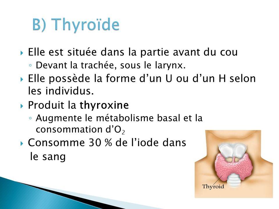 Elle est située dans la partie avant du cou Devant la trachée, sous le larynx. Elle possède la forme dun U ou dun H selon les individus. Produit la th