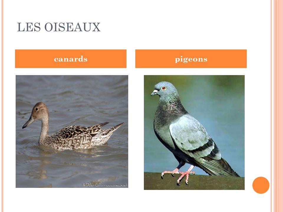 LES OISEAUX canardspigeons