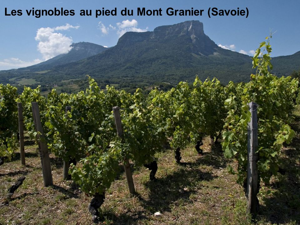 Les vignobles au pied du Mont Granier (Savoie)