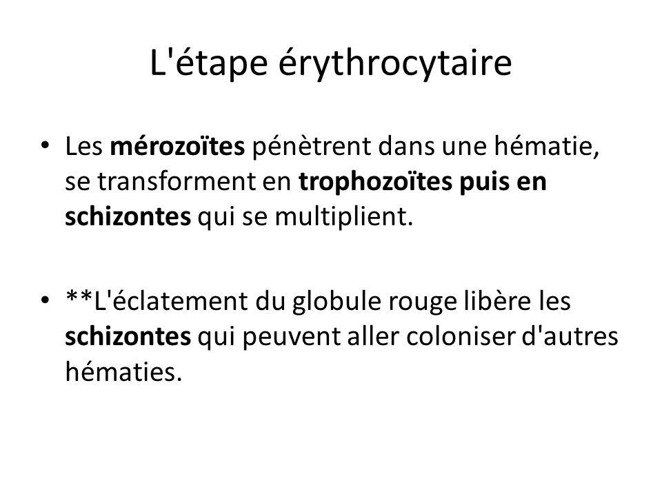L'étape érythrocytaire Les mérozoïtes pénètrent dans une hématie, se transforment en trophozoïtes puis en schizontes qui se multiplient. **L'éclatemen