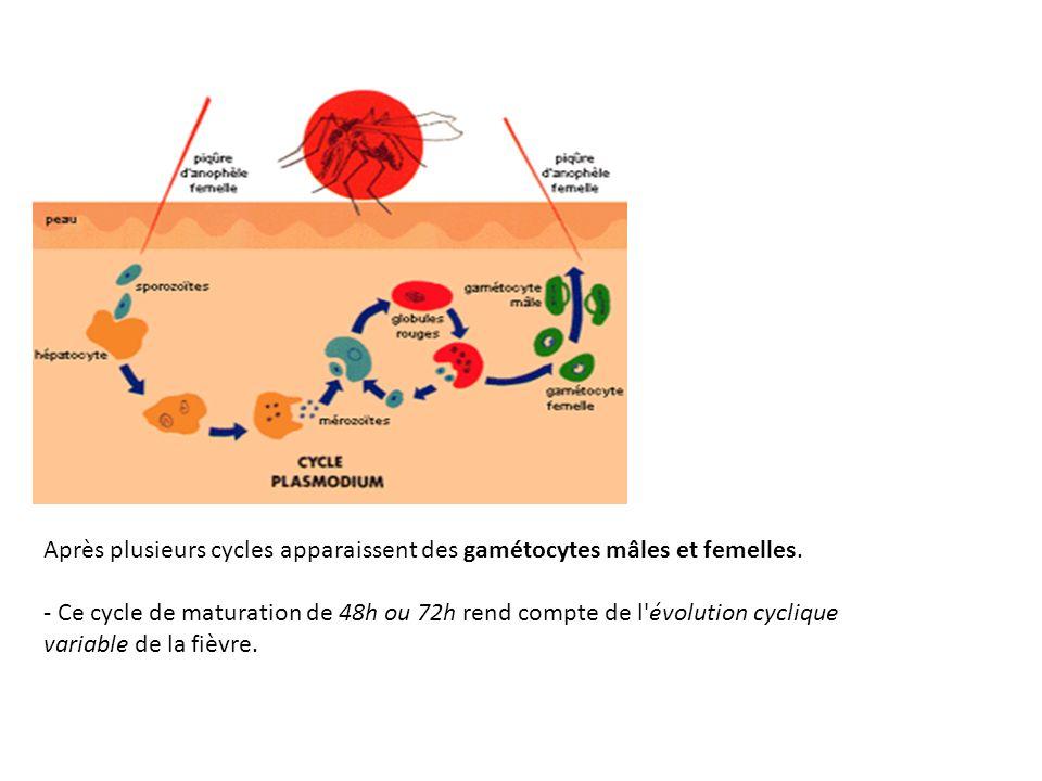 Après plusieurs cycles apparaissent des gamétocytes mâles et femelles. - Ce cycle de maturation de 48h ou 72h rend compte de l'évolution cyclique vari