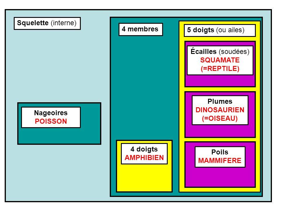 Squelette (interne) 4 membres Nageoires POISSON Écailles (soudées) SQUAMATE (=REPTILE) 4 doigts AMPHIBIEN Poils MAMMIFERE Plumes DINOSAURIEN (=OISEAU)