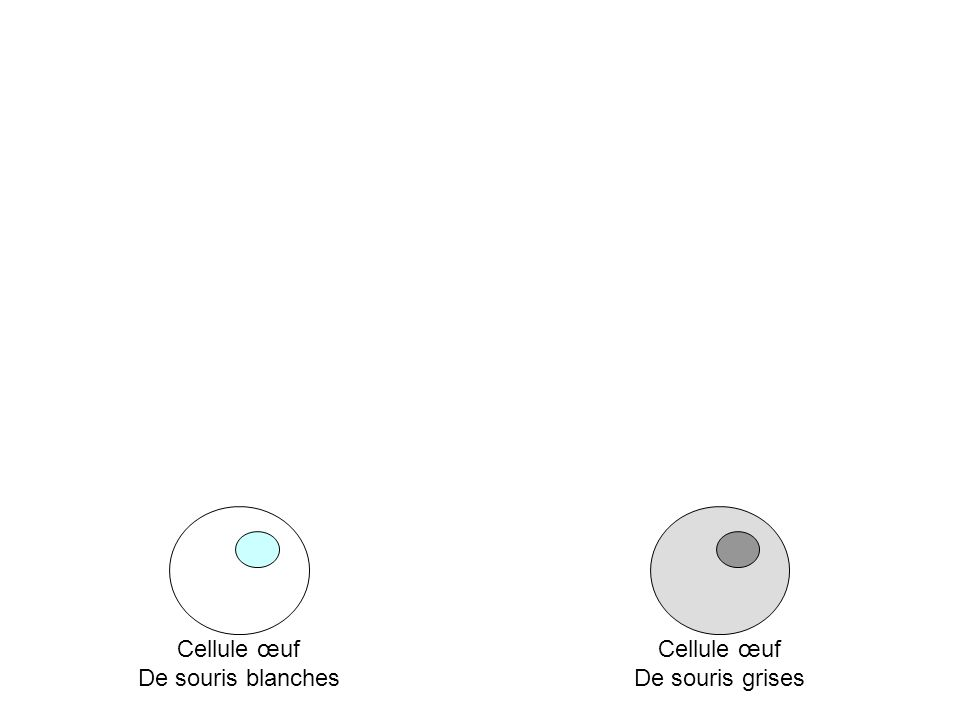 Cellule œuf De souris blanches Cellule œuf De souris grises