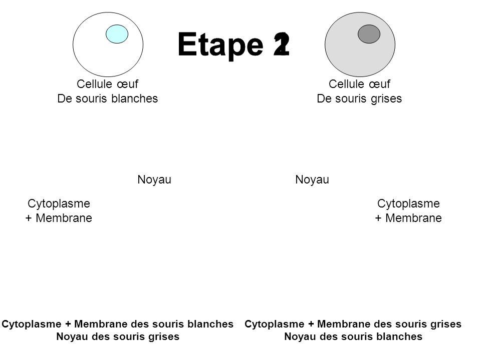 Cellule œuf De souris blanches Cellule œuf De souris grises Cytoplasme + Membrane Noyau Cytoplasme + Membrane Cytoplasme + Membrane des souris blanche