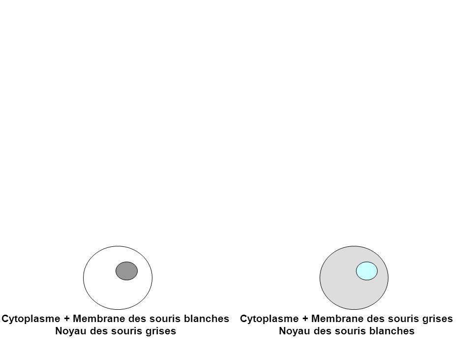 Cytoplasme + Membrane des souris blanches Noyau des souris grises Cytoplasme + Membrane des souris grises Noyau des souris blanches