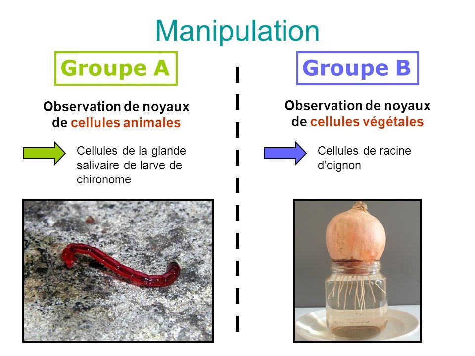 Manipulation Groupe B Observation de noyaux de cellules végétales Cellules de la glande salivaire de larve de chironome Groupe A Observation de noyaux