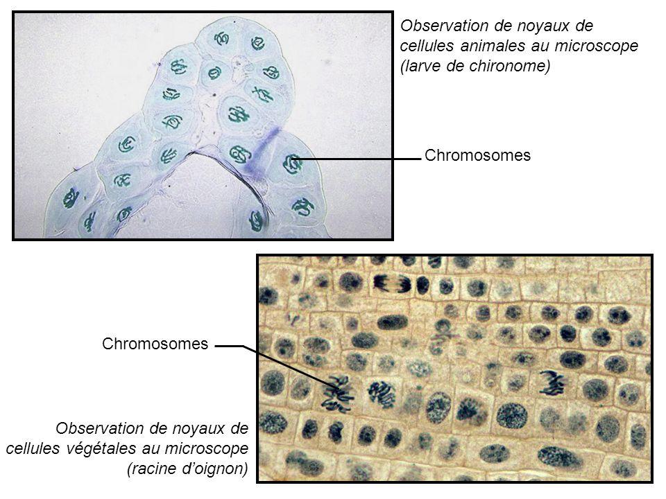 Chromosomes de larve de chironome x400 Chromosomes de larve de chironome x1000 Chromosomes observés au microscope électronique x8000 Observation x400 Observation x1000 Observation x8000