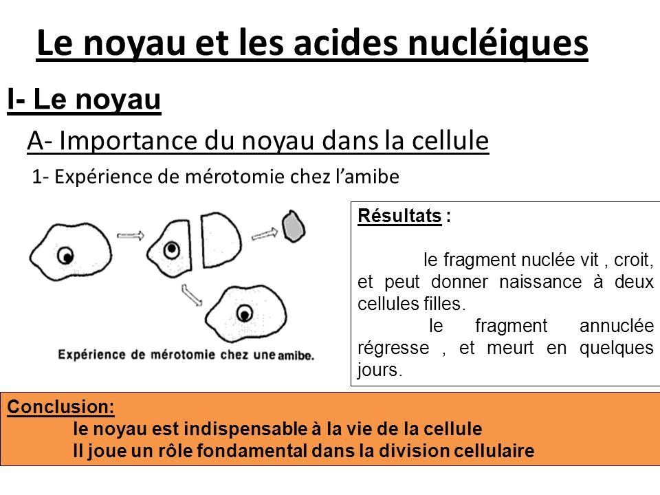 Le noyau et les acides nucléiques A- Importance du noyau dans la cellule 1- Expérience de mérotomie chez lamibe Résultats : le fragment nuclée vit, cr