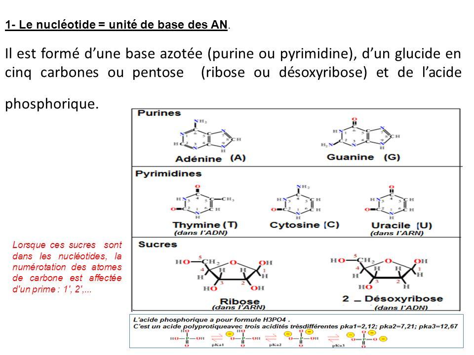 Il est formé dune base azotée (purine ou pyrimidine), dun glucide en cinq carbones ou pentose (ribose ou désoxyribose) et de lacide phosphorique. 1- L