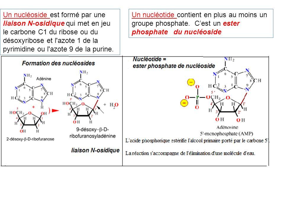 Un nucléoside est formé par une liaison N-osidique qui met en jeu le carbone C1 du ribose ou du désoxyribose et l'azote 1 de la pyrimidine ou l'azote
