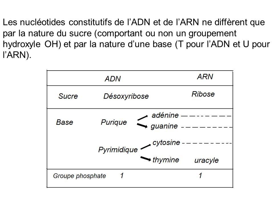 Les nucléotides constitutifs de lADN et de lARN ne diffèrent que par la nature du sucre (comportant ou non un groupement hydroxyle OH) et par la natur