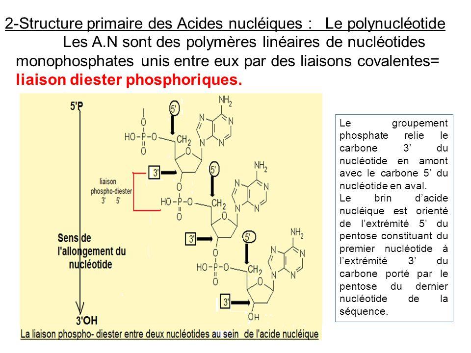 2-Structure primaire des Acides nucléiques : Le polynucléotide Les A.N sont des polymères linéaires de nucléotides monophosphates unis entre eux par d