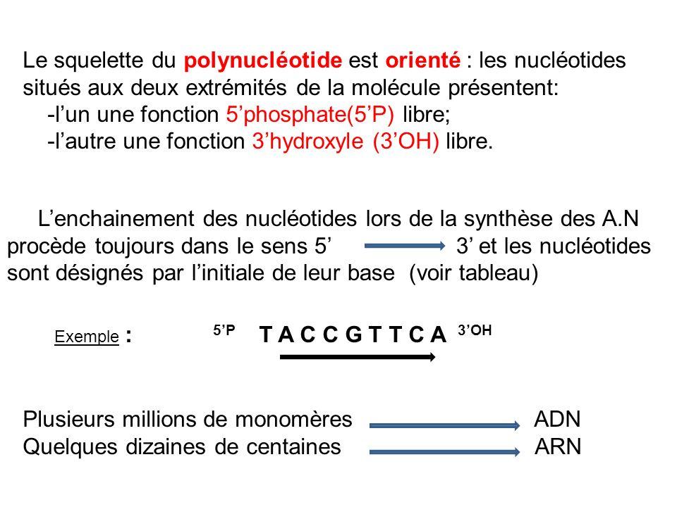 Plusieurs millions de monomères ADN Quelques dizaines de centaines ARN Le squelette du polynucléotide est orienté : les nucléotides situés aux deux ex