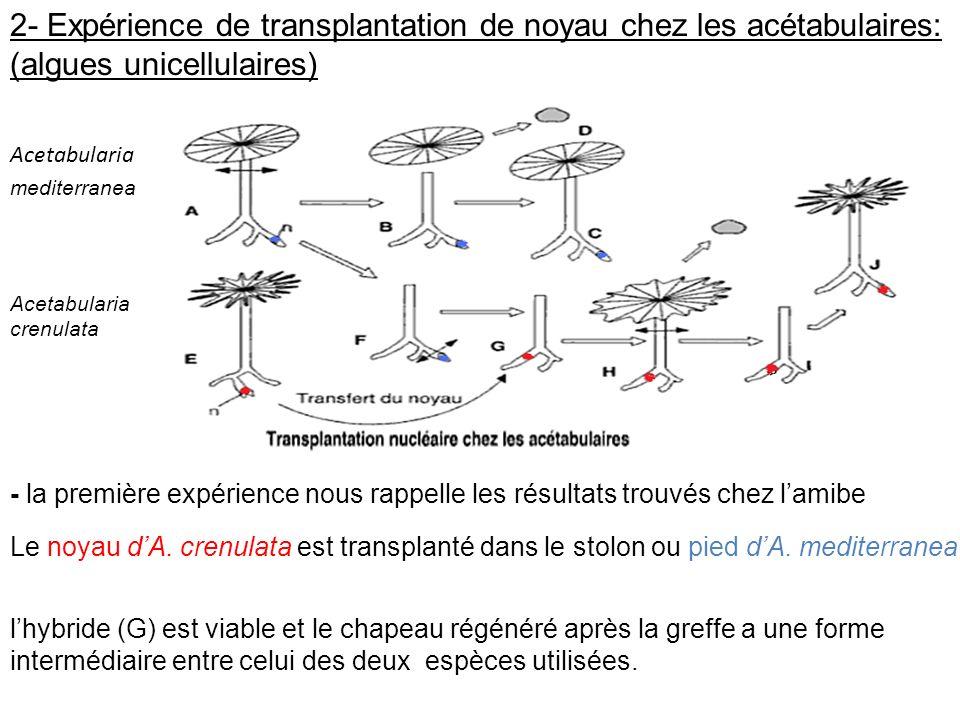 Acetabularia mediterranea 2- Expérience de transplantation de noyau chez les acétabulaires: (algues unicellulaires) Acetabularia crenulata Le noyau dA