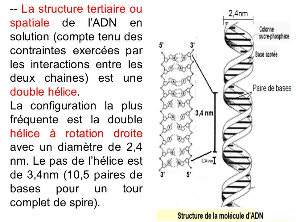 -- La structure tertiaire ou spatiale de lADN en solution (compte tenu des contraintes exercées par les interactions entre les deux chaines) est une d
