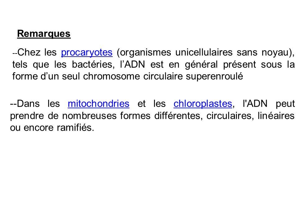 -- Chez les procaryotes (organismes unicellulaires sans noyau), tels que les bactéries, lADN est en général présent sous la forme dun seul chromosome