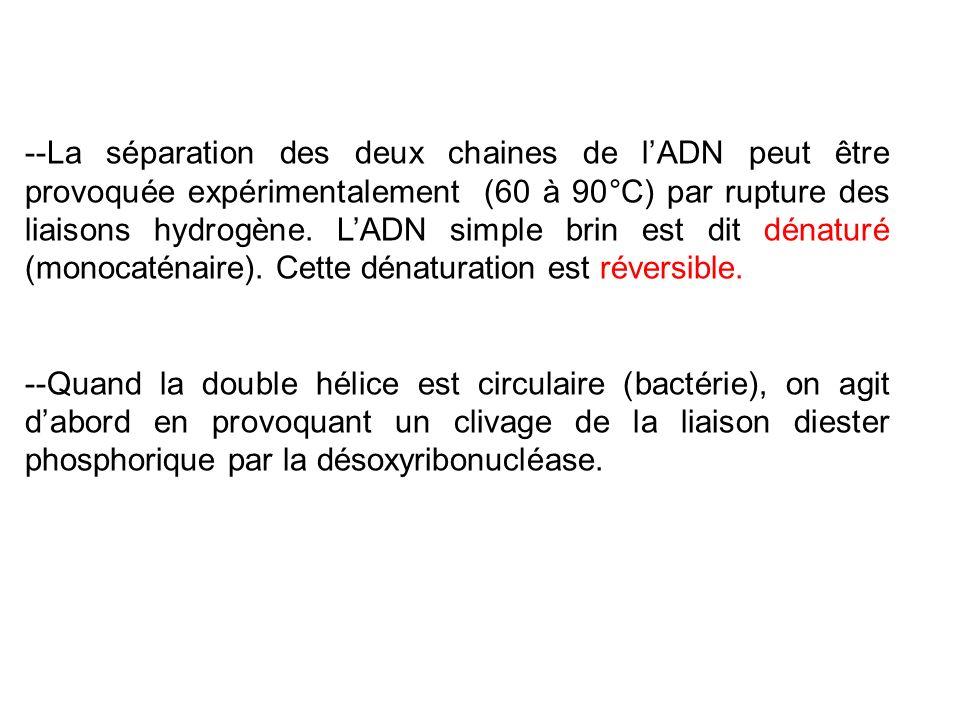 --La séparation des deux chaines de lADN peut être provoquée expérimentalement (60 à 90°C) par rupture des liaisons hydrogène. LADN simple brin est di