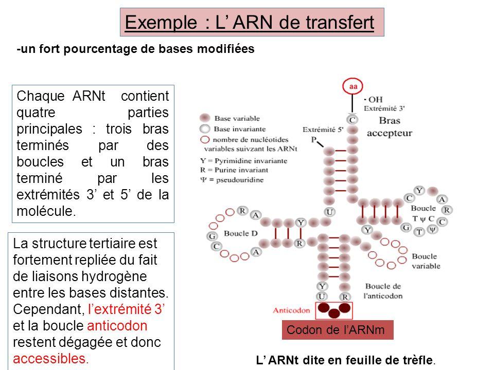Chaque ARNt contient quatre parties principales : trois bras terminés par des boucles et un bras terminé par les extrémités 3 et 5 de la molécule. La