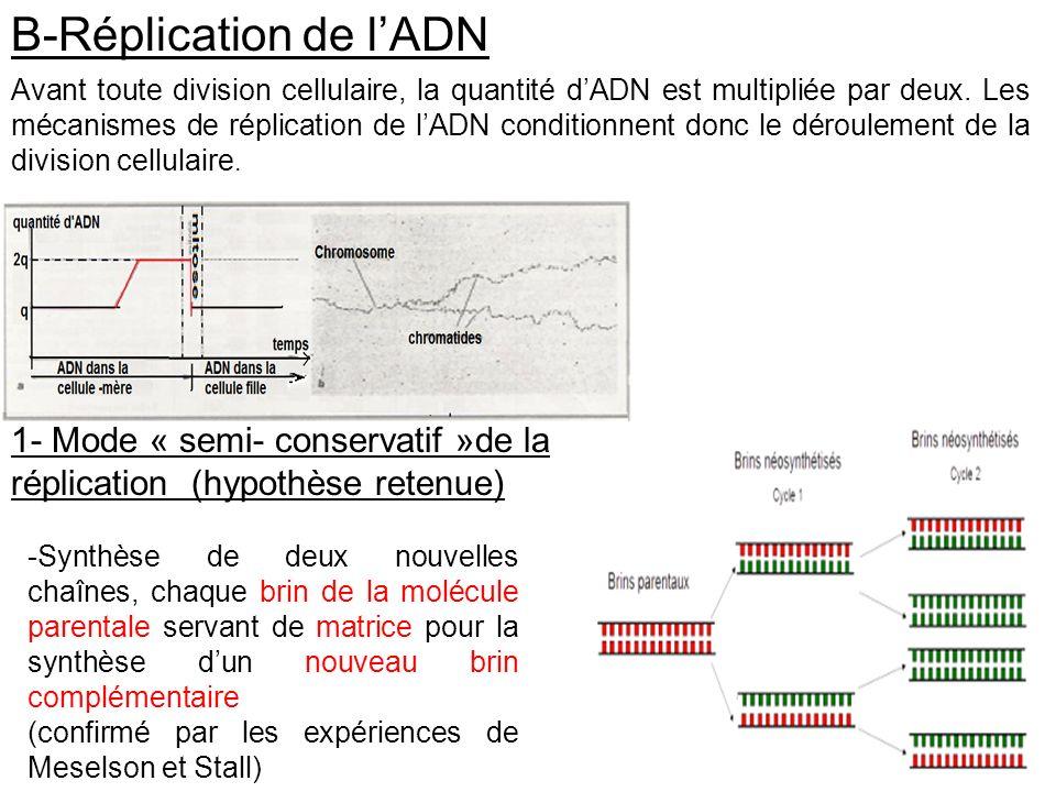 B-Réplication de lADN 1- Mode « semi- conservatif »de la réplication (hypothèse retenue) -Synthèse de deux nouvelles chaînes, chaque brin de la molécu