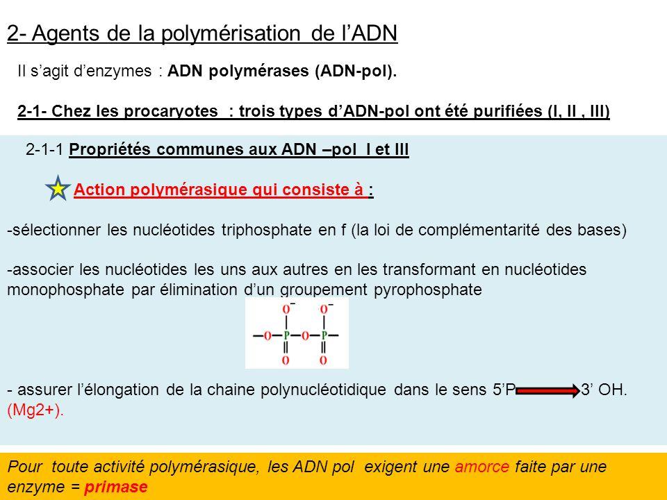 2- Agents de la polymérisation de lADN Il sagit denzymes : ADN polymérases (ADN-pol). 2-1- Chez les procaryotes : trois types dADN-pol ont été purifié