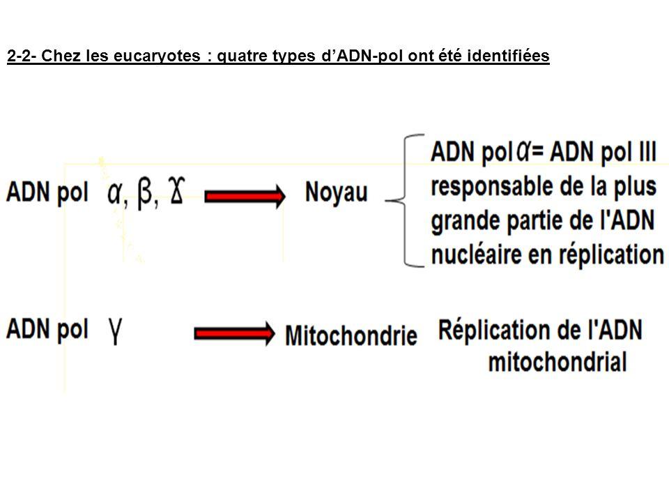 2-2- Chez les eucaryotes : quatre types dADN-pol ont été identifiées