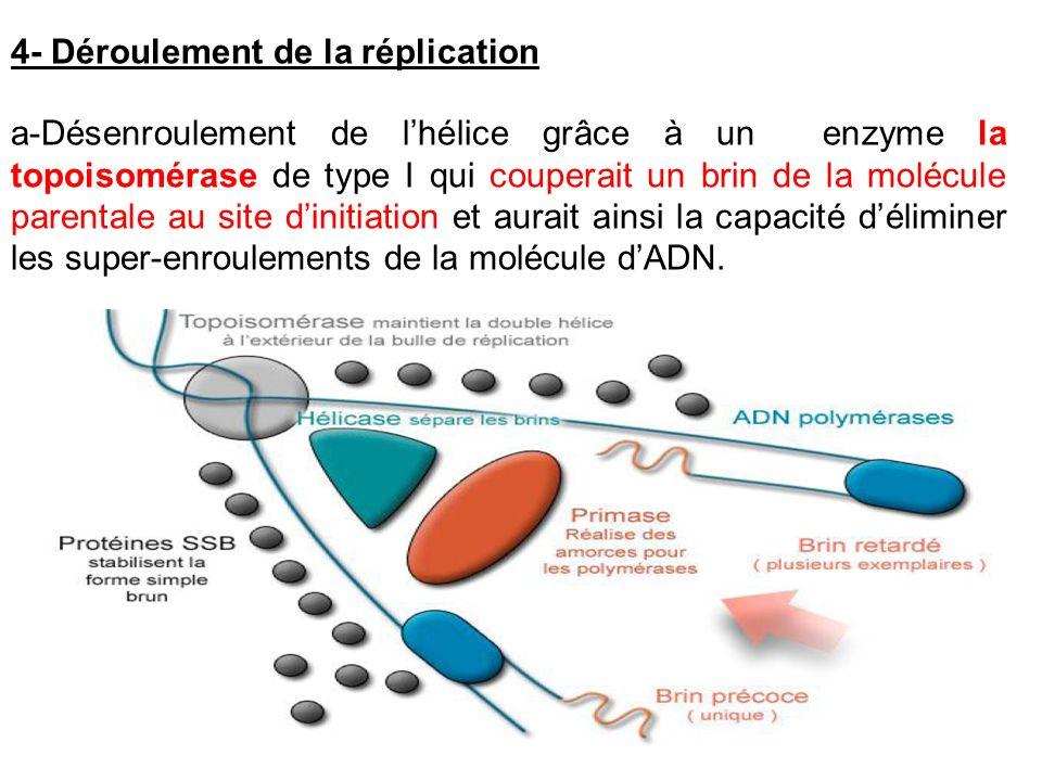 a-Désenroulement de lhélice grâce à un enzyme la topoisomérase de type I qui couperait un brin de la molécule parentale au site dinitiation et aurait