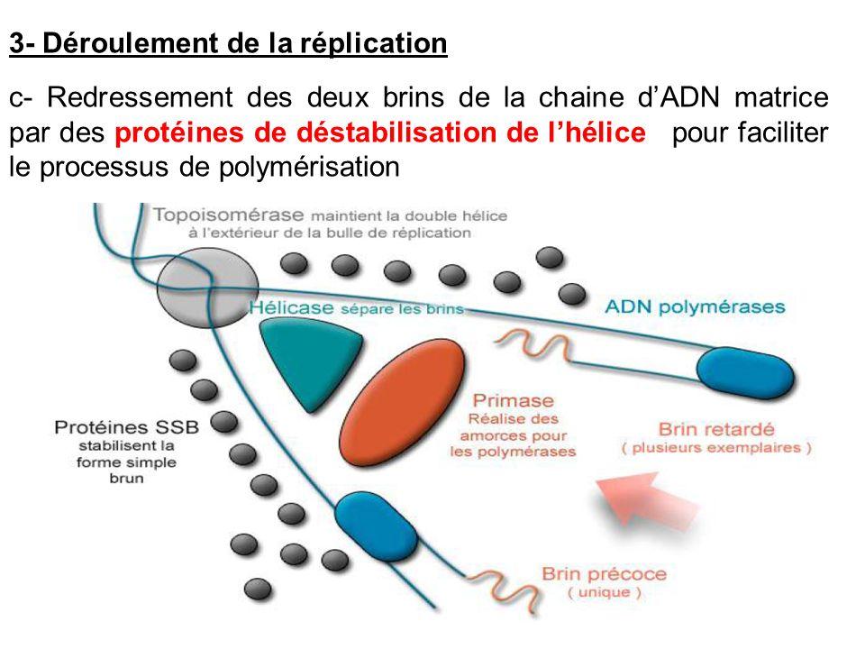 c- Redressement des deux brins de la chaine dADN matrice par des protéines de déstabilisation de lhélice pour faciliter le processus de polymérisation