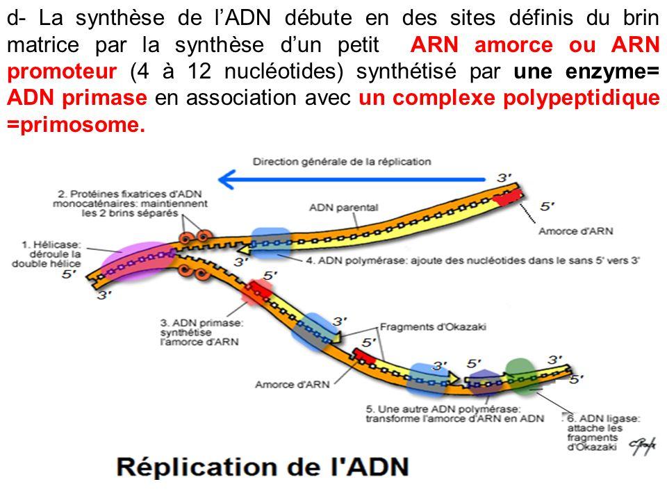 d- La synthèse de lADN débute en des sites définis du brin matrice par la synthèse dun petit ARN amorce ou ARN promoteur (4 à 12 nucléotides) synthéti