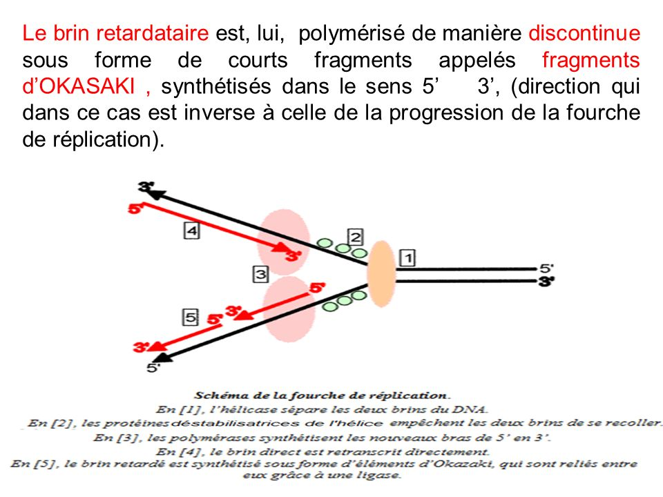 Le brin retardataire est, lui, polymérisé de manière discontinue sous forme de courts fragments appelés fragments dOKASAKI, synthétisés dans le sens 5