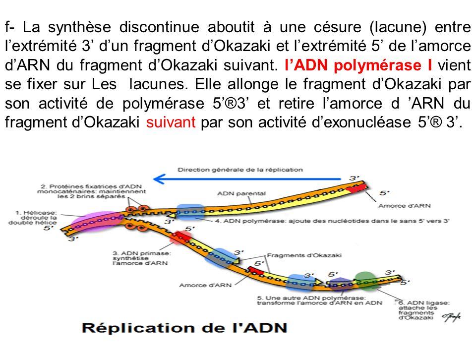 f- La synthèse discontinue aboutit à une césure (lacune) entre lextrémité 3 dun fragment dOkazaki et lextrémité 5 de lamorce dARN du fragment dOkazaki