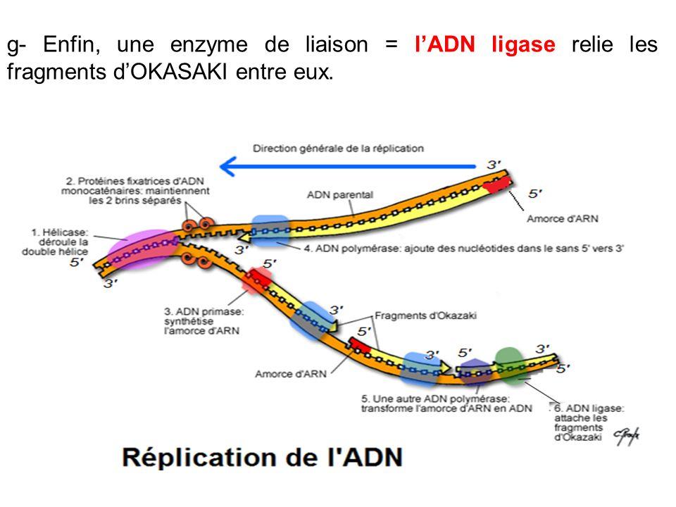 g- Enfin, une enzyme de liaison = lADN ligase relie les fragments dOKASAKI entre eux.