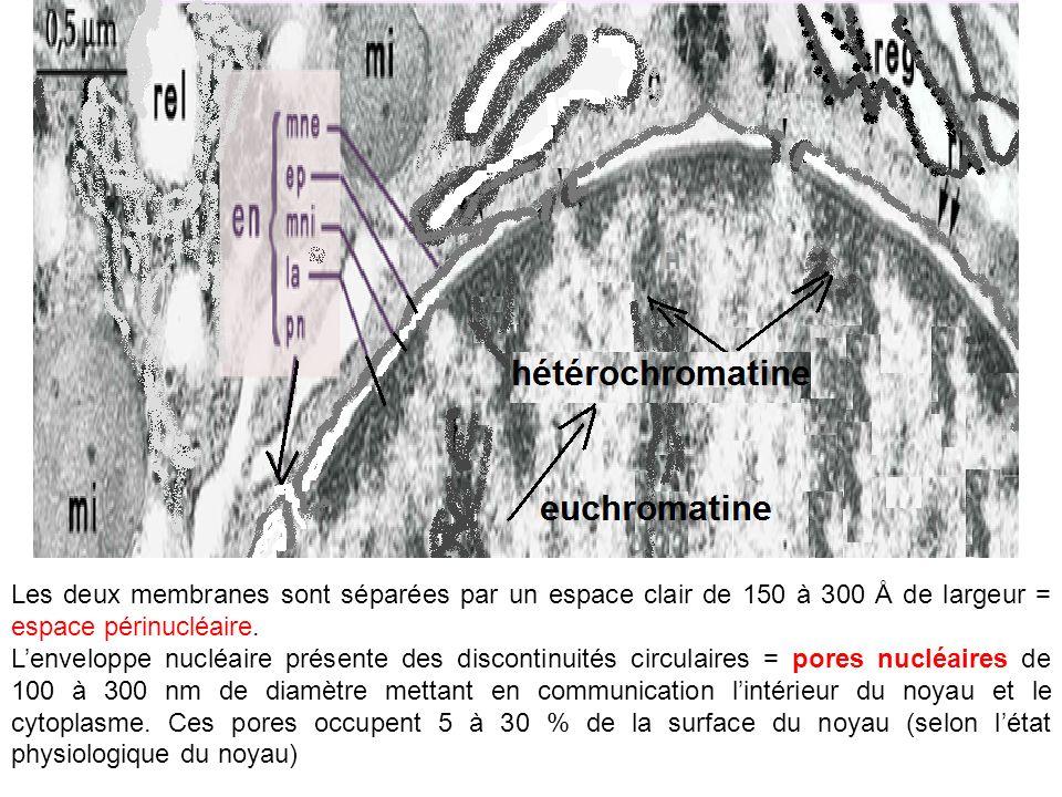 Les deux membranes sont séparées par un espace clair de 150 à 300 Å de largeur = espace périnucléaire. Lenveloppe nucléaire présente des discontinuité