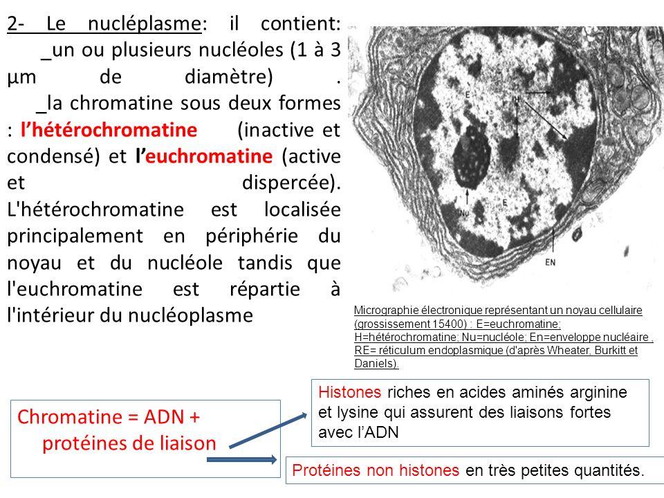 2- Le nucléplasme: il contient: _un ou plusieurs nucléoles (1 à 3 µm de diamètre). _la chromatine sous deux formes : lhétérochromatine (inactive et co