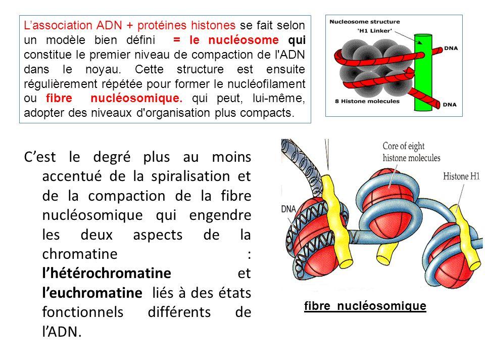 Lassociation ADN + protéines histones se fait selon un modèle bien défini = le nucléosome qui constitue le premier niveau de compaction de l'ADN dans