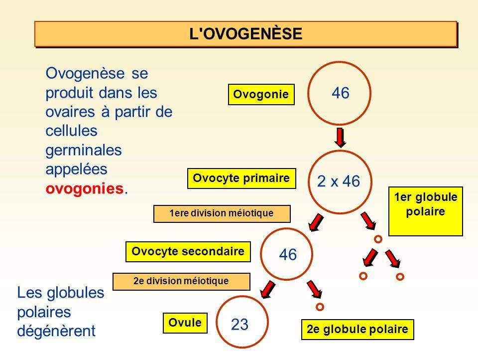 L'OVOGENÈSE Ovogenèse se produit dans les ovaires à partir de cellules germinales appelées ovogonies. 46 Ovogonie Ovocyte secondaire 1er globule polai