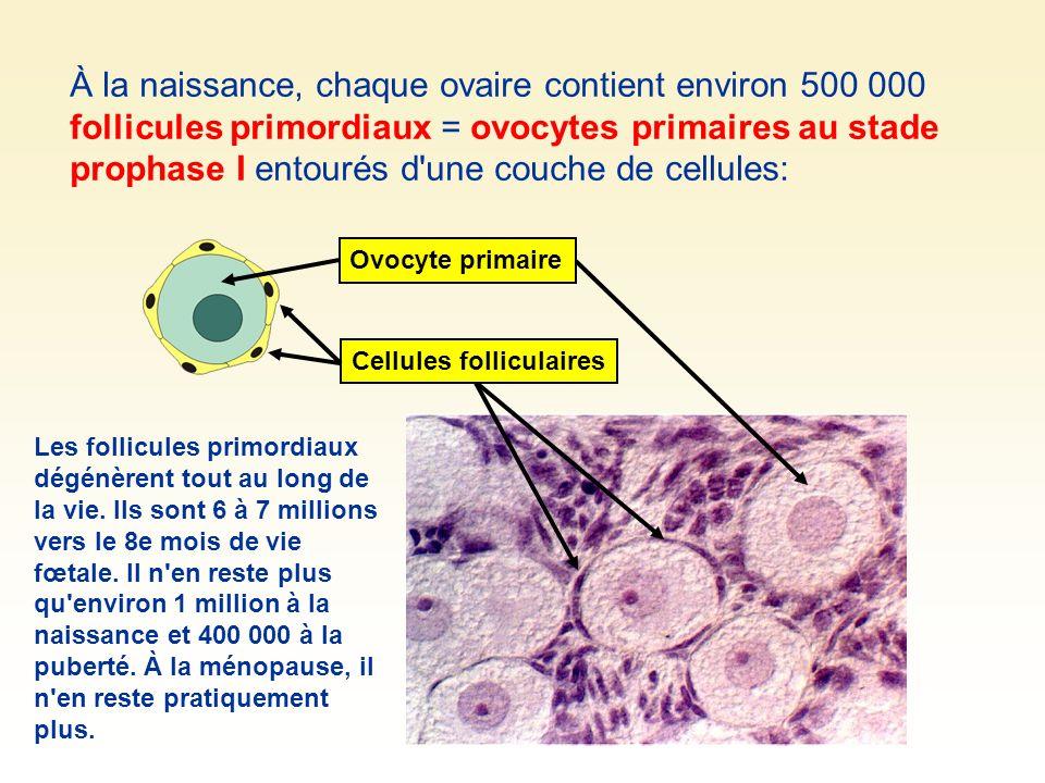 À la naissance, chaque ovaire contient environ 500 000 follicules primordiaux = ovocytes primaires au stade prophase I entourés d'une couche de cellul
