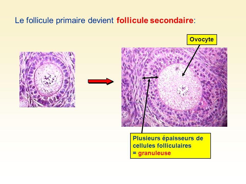 Le follicule primaire devient follicule secondaire: Plusieurs épaisseurs de cellules folliculaires = granuleuse Ovocyte