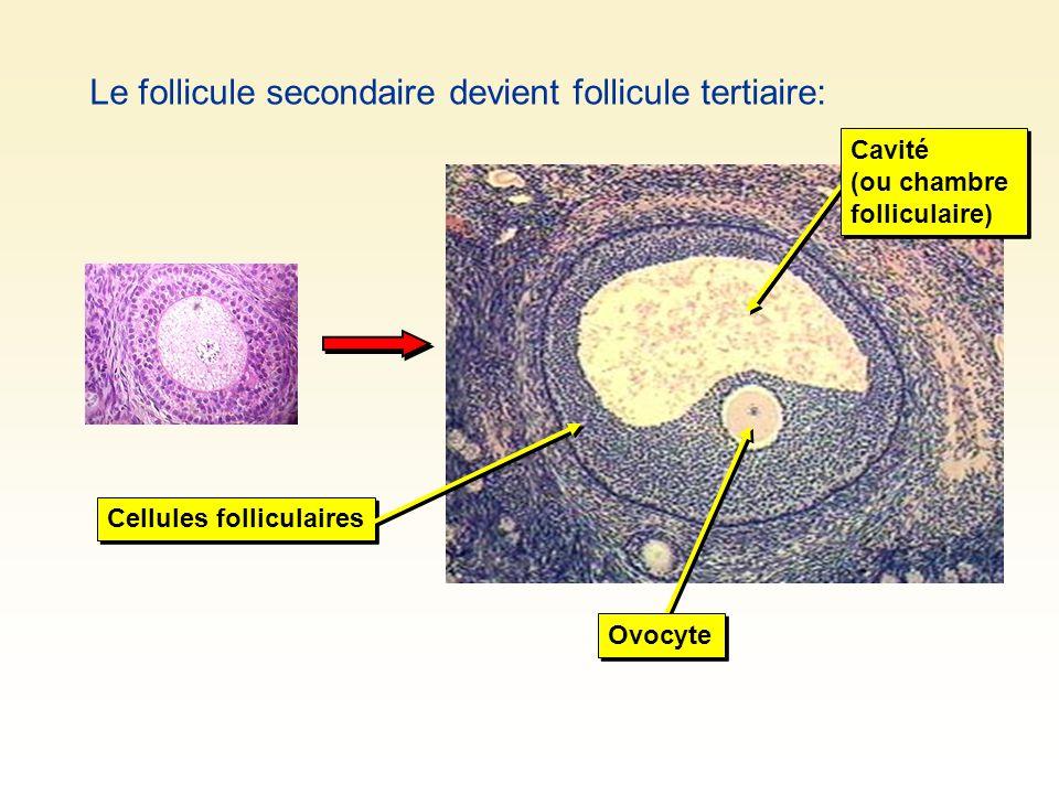 Le follicule secondaire devient follicule tertiaire: Cellules folliculaires Ovocyte Cavité (ou chambre folliculaire)