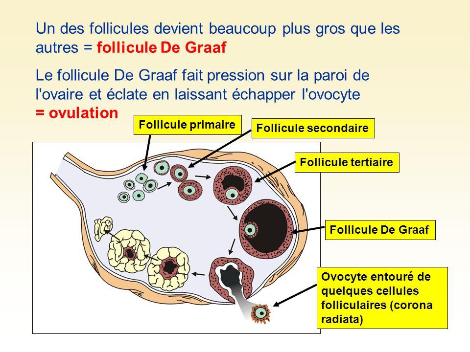 Un des follicules devient beaucoup plus gros que les autres = follicule De Graaf Le follicule De Graaf fait pression sur la paroi de l'ovaire et éclat