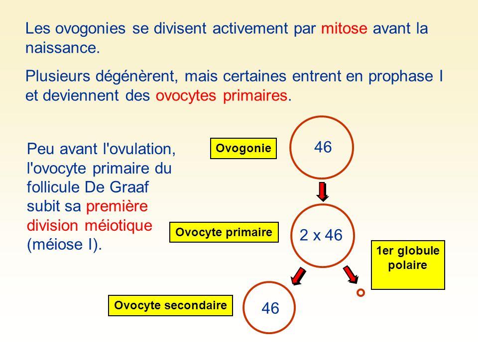 Peu avant l'ovulation, l'ovocyte primaire du follicule De Graaf subit sa première division méiotique (méiose I). 46 Ovogonie Ovocyte secondaire 1er gl