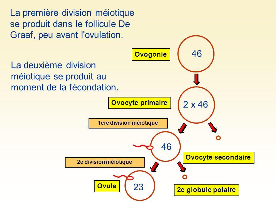 46 Ovogonie Ovocyte primaire 2 x 46 46 1ere division méiotique La deuxième division méiotique se produit au moment de la fécondation. La première divi